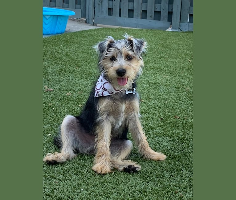 Photo of Miller Levi, a Miniature Schnauzer, Chihuahua, and Yorkshire Terrier mix in Kenosha, Wisconsin, USA