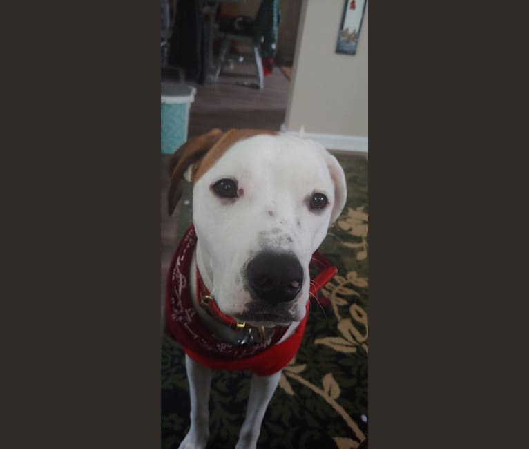 Photo of Ruger, an American Pit Bull Terrier, Mountain Cur, Llewellin Setter, and Mixed mix in Davison, Michigan, USA