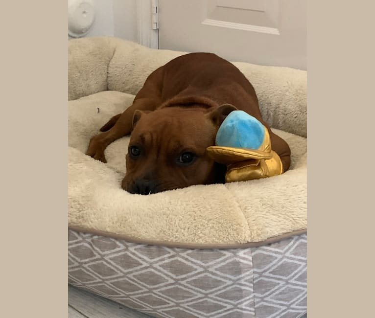 Photo of Hero, a Staffordshire Bull Terrier  in Fort Lauderdale, Florida, USA