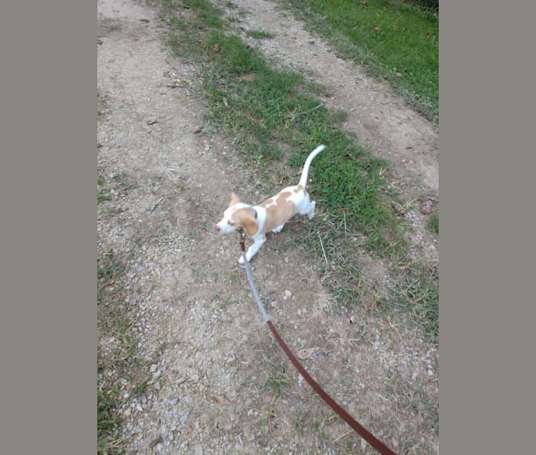 Photo of Lusa, a Beagle  in Kentucky, USA