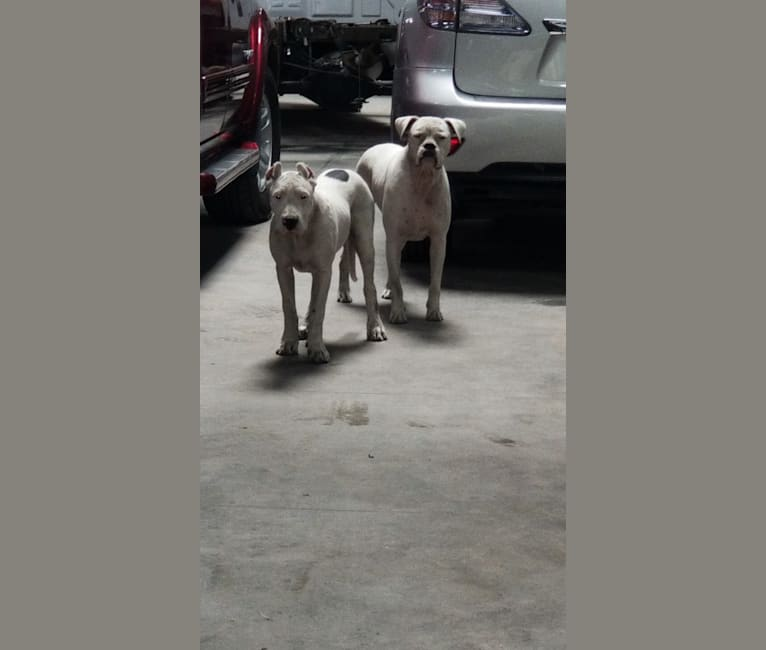 Photo of DOTTI BLANCA, a Dogo Argentino  in 481 West 149th Street, Glenpool, OK, USA