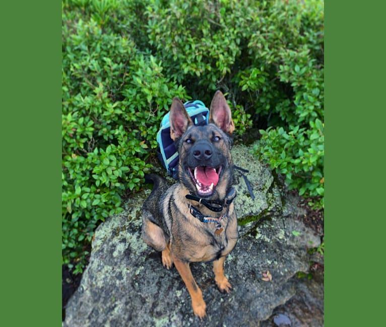 Photo of River, a German Shepherd Dog and Dutch Shepherd mix in Georgia, USA