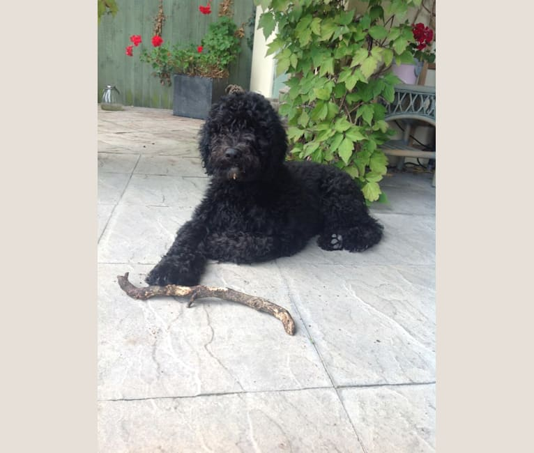 Photo of Charlie Bear, a Barbet  in UK