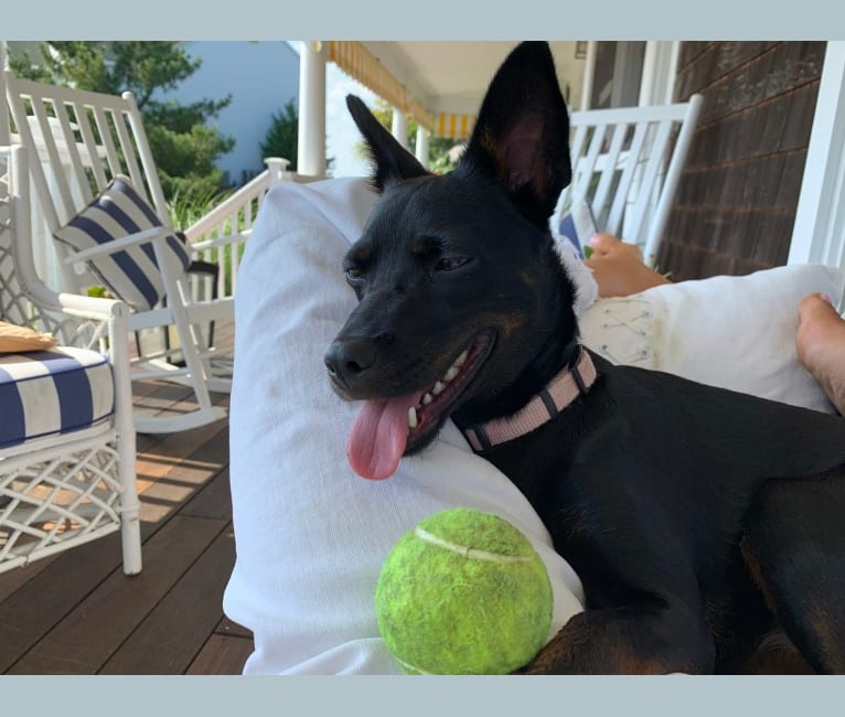Photo of Astrid, a Rat Terrier, Chow Chow, Chihuahua, Poodle (Small), American Pit Bull Terrier, and Mixed mix in Alabama, USA