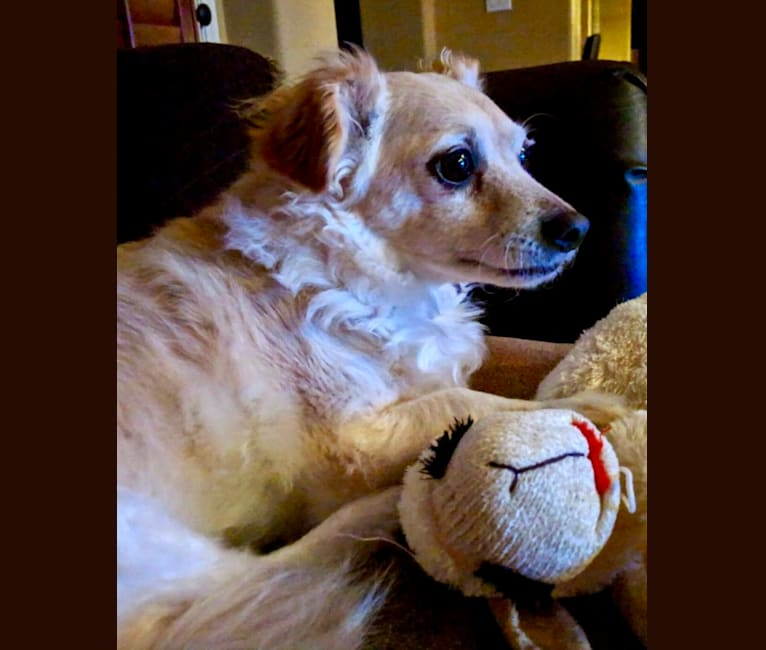 Photo of Brix, a Chihuahua, Poodle (Small), and Miniature Pinscher mix in Gilbert, Arizona, USA