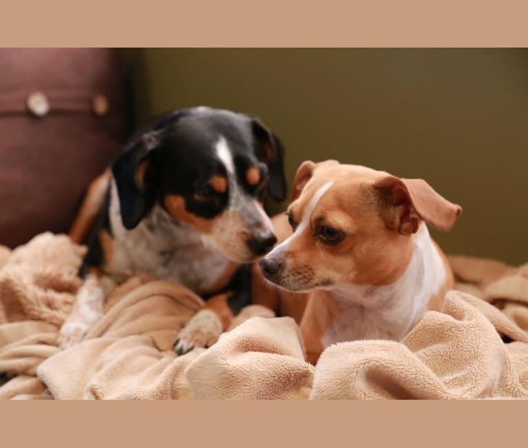 Photo of Cheza, a Chihuahua, Poodle (Small), and Mixed mix in Sun City, Menifee, CA, USA