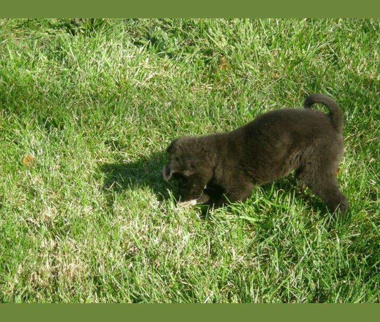 Photo of Kaiya, a Siberian Husky, American Eskimo Dog, German Shepherd Dog, Chow Chow, and Golden Retriever mix in Virginia, USA