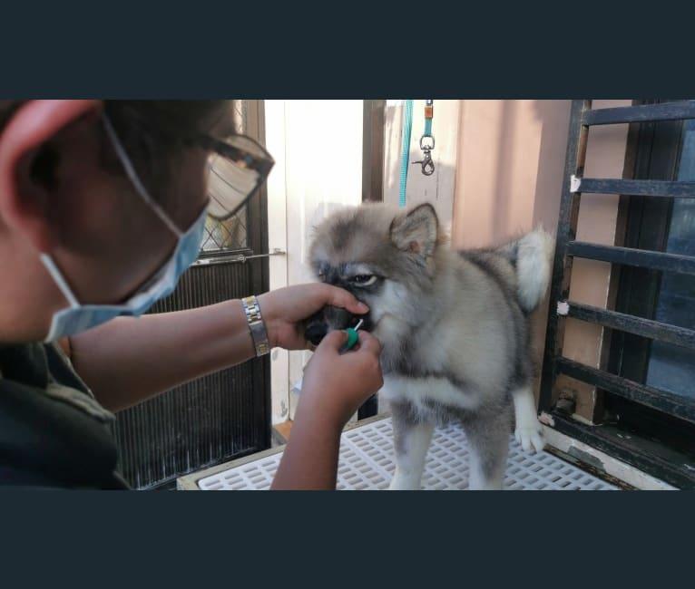 Photo of Mira, a Siberian Husky  in Dasmariñas, Cavite, Philippines