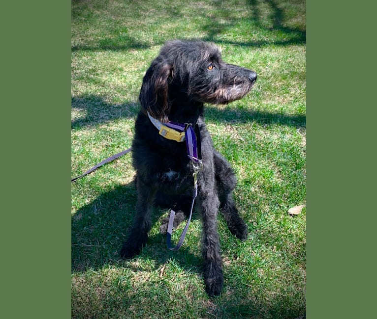 Photo of Daisy, a German Shorthaired Pointer, Poodle (Standard), Pointer, and Saint Bernard mix in Pine Ridge, South Dakota, USA