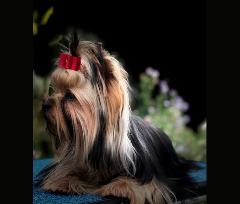 Photo of GG, a Yorkshire Terrier  in Ontario, Canada
