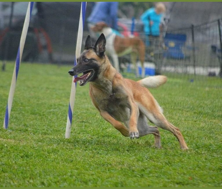 Photo of Dottie von Vogeley, a Belgian Shepherd