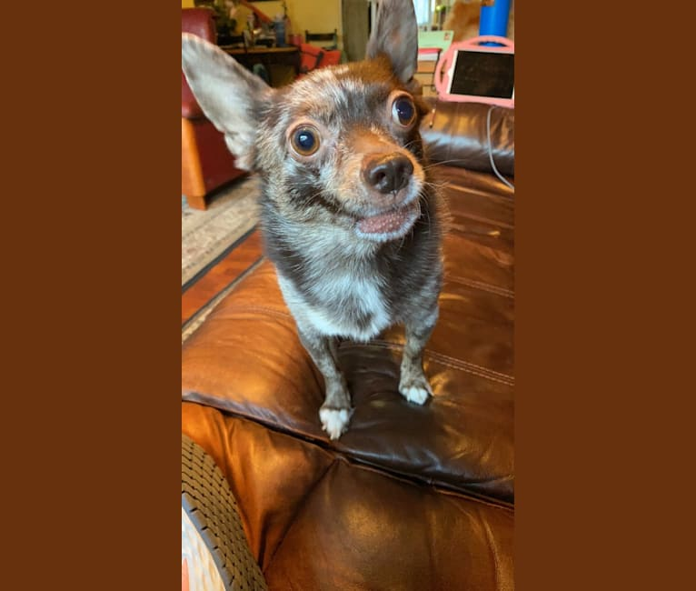 Photo of Buddy, a Pomchi  in Juneau, AK, USA