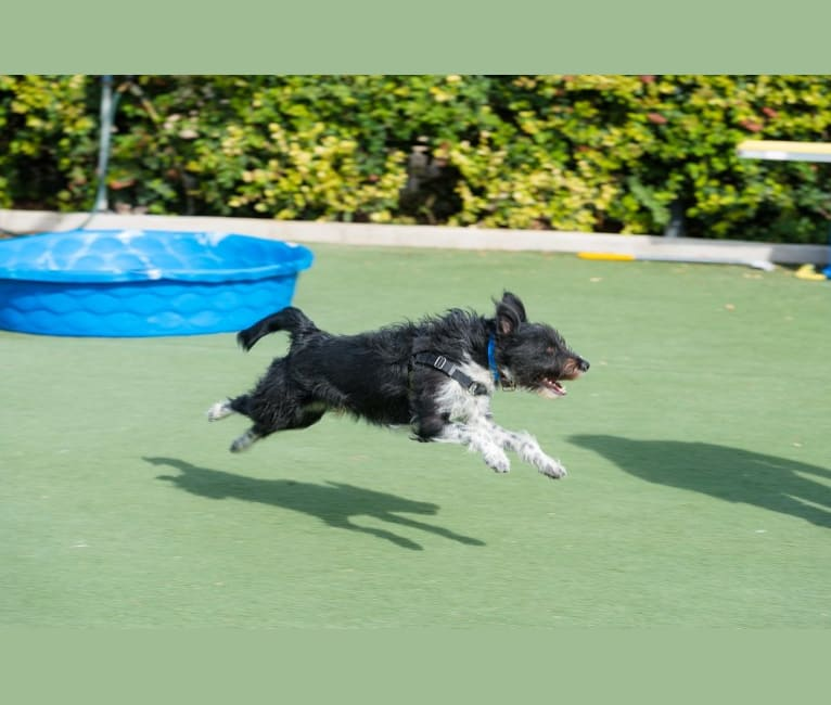 Photo of Porter, a Poodle (Small), Border Collie, Miniature Schnauzer, German Shepherd Dog, and Mixed mix in Albuquerque, New Mexico, USA