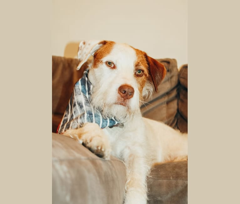Photo of Calihan (Cali), an American Pit Bull Terrier, Miniature/MAS-type Australian Shepherd, and Mixed mix in Arkansas, USA