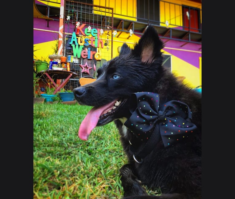 Photo of Spock, a German Shepherd Dog, Chow Chow, Australian Shepherd, Doberman Pinscher, American Pit Bull Terrier, Labrador Retriever, and Mixed mix in Austin, Texas, USA