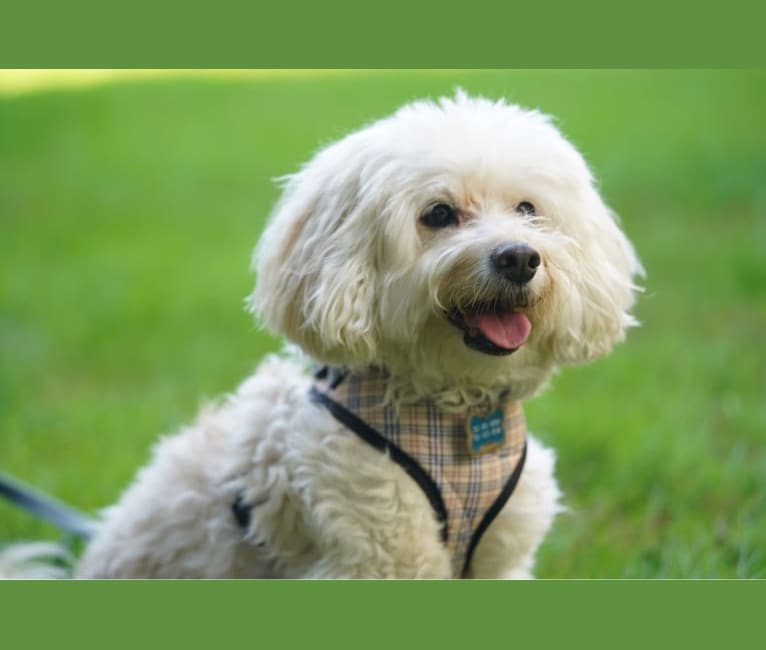 Photo of Shadow, a Poodle (Small), Maltese, American Eskimo Dog, and Cocker Spaniel mix in Potomac, Maryland, USA