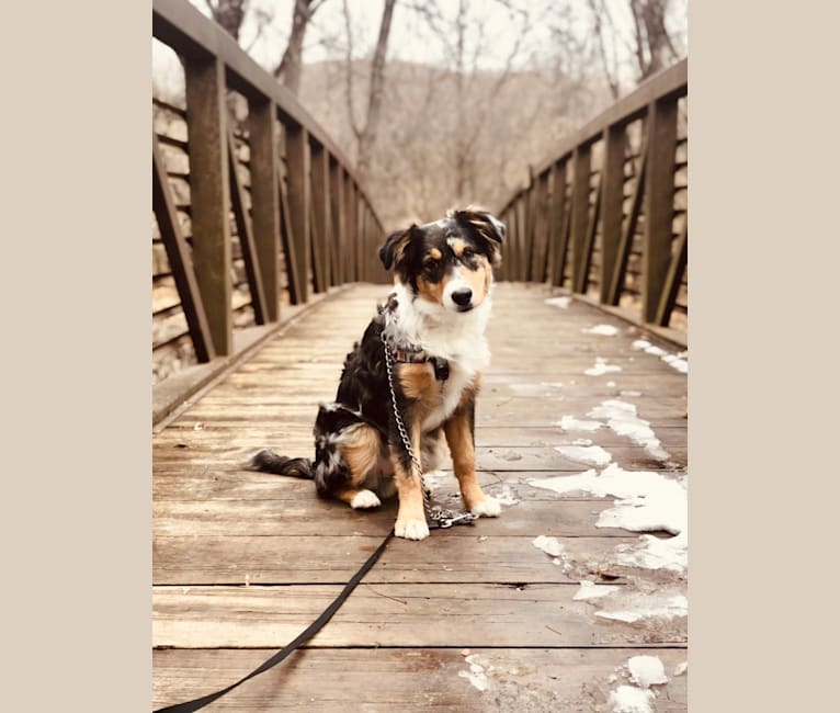 Photo of Finley, an Australian Shepherd Group  in Seymour, IA, USA