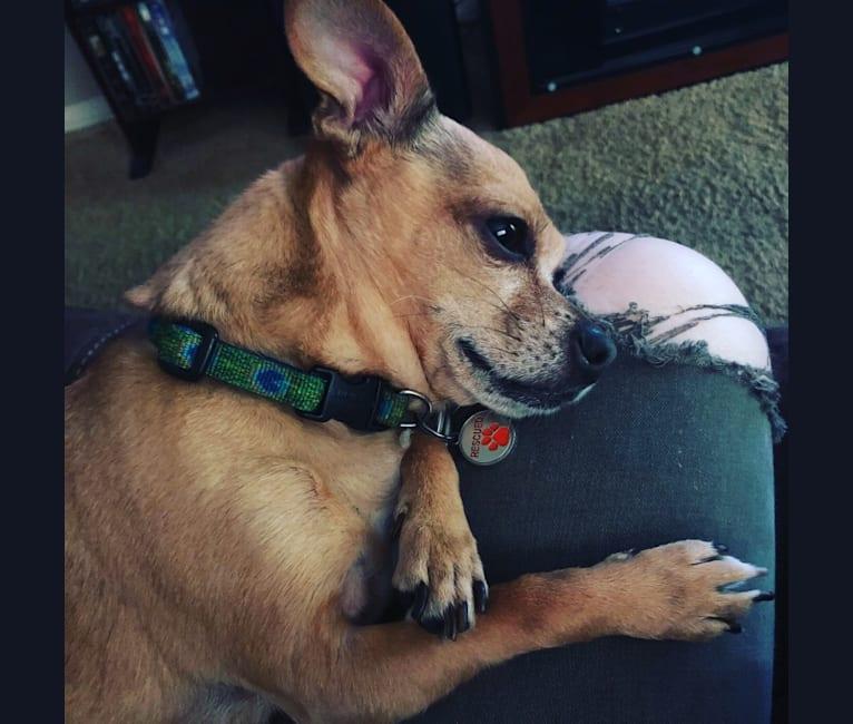 Photo of Poco, a Chihuahua and Miniature Schnauzer mix in Salem, Oregon, USA
