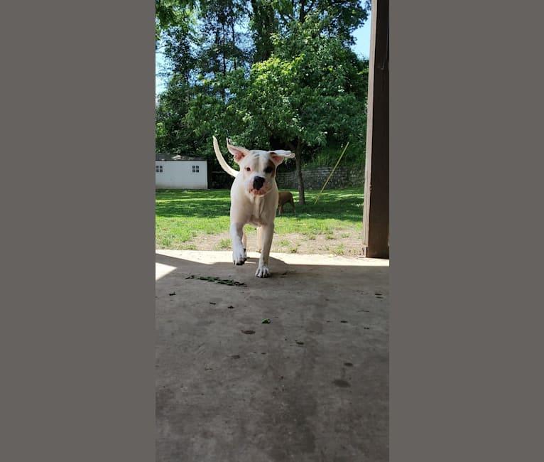 Photo of Thorsen, a Boxer and Saint Bernard mix in Marietta, Ohio, USA