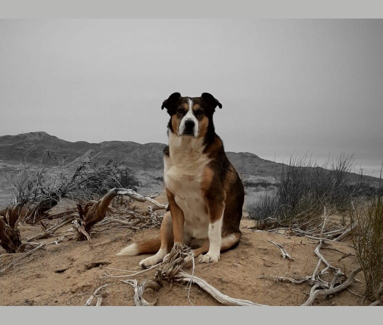 Photo of Scatter, an American Pit Bull Terrier, Australian Cattle Dog, Siberian Husky, and Mixed mix in Jamul, California, USA