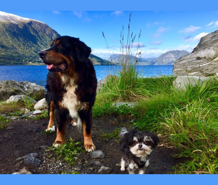 Photo of Morris, a Chihuahua and Maltese mix in Norge