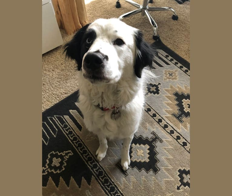 Photo of Hawkeye Ellerbach, a Great Pyrenees, Australian Cattle Dog, American Pit Bull Terrier, and Border Collie mix in Texas, USA