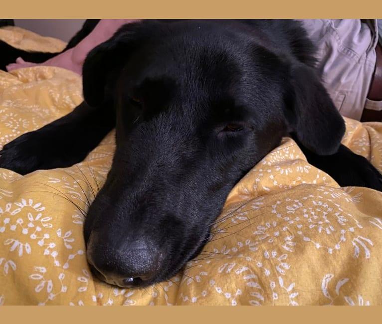 Photo of Otto (Othello), a German Shepherd Dog and Newfoundland mix in Demorest, GA, USA