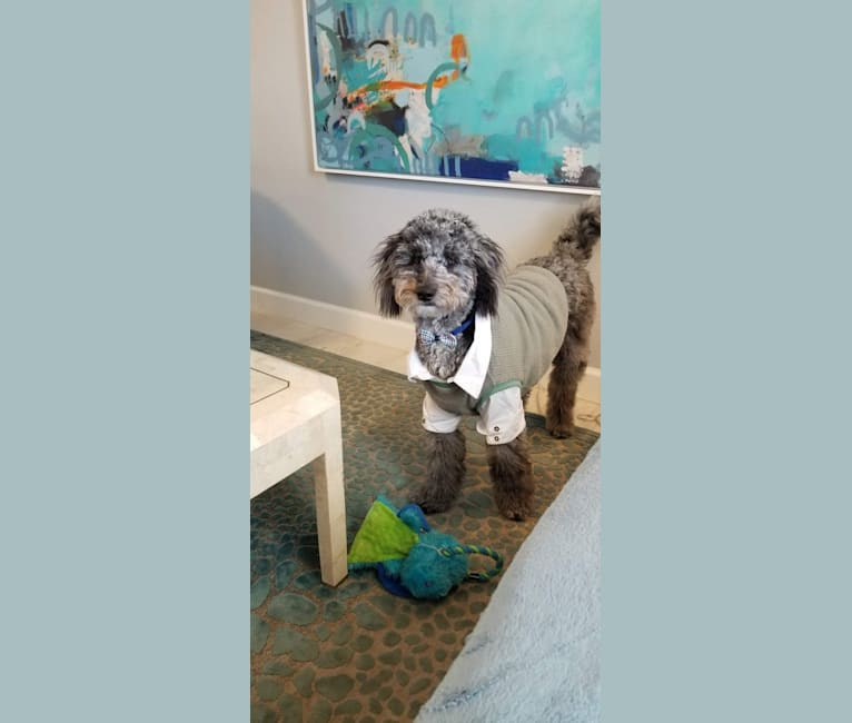 Photo of Storm Erickson, a Poodle (Small), Poodle (Standard), and Golden Retriever mix in Hudson, Florida, USA