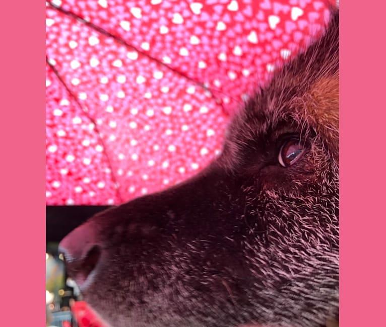 Photo of Kiki, an Akita  in Pittsburgh, Pennsylvania, USA