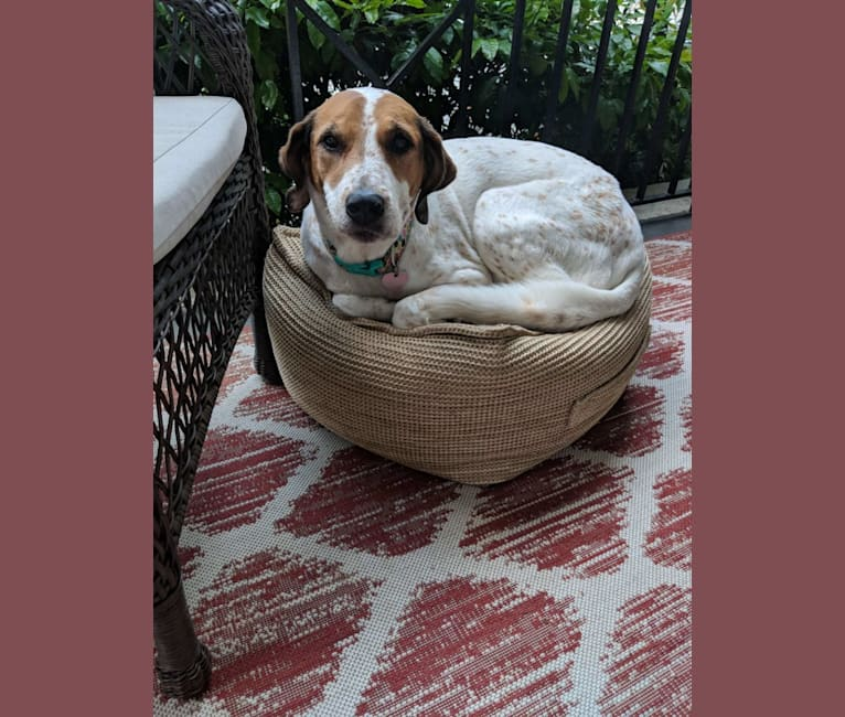 Photo of Izzy, a Treeing Walker Coonhound, American Pit Bull Terrier, and Dalmatian mix in Atlanta, Georgia, USA