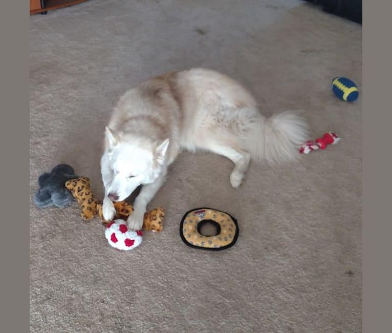 Photo of Lambeau, a Siberian Husky and Alaskan Malamute mix in Spokane, Washington, USA