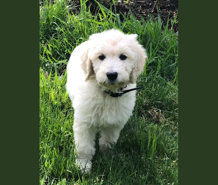 Photo of Georgie, a Goldendoodle  in Clatskanie, OR, USA