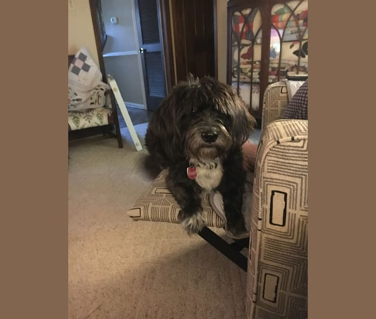 Photo of Rigby, a Shih Tzu, Beagle, Poodle (Small), and Bluetick Coonhound mix in Little Rock, Arkansas, USA