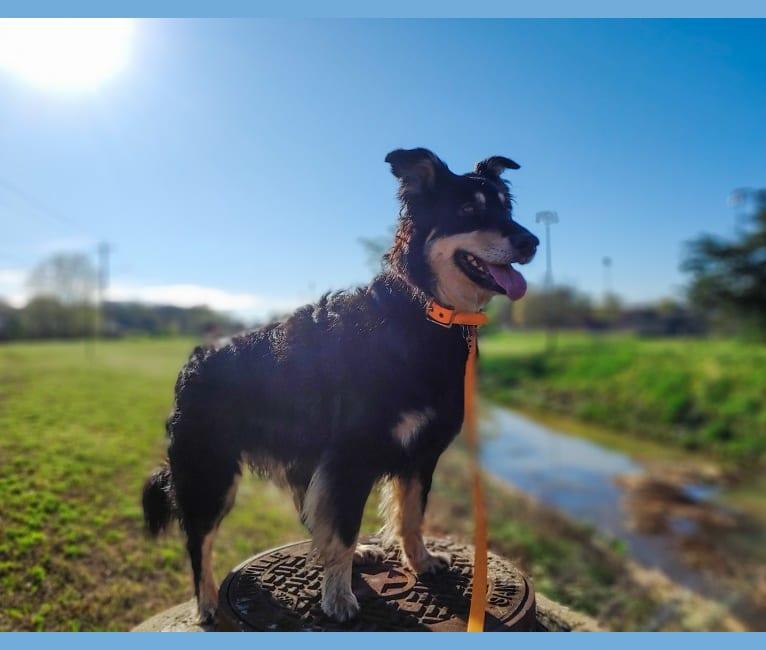 Photo of Maple, an English Shepherd  in Cullman, AL, USA
