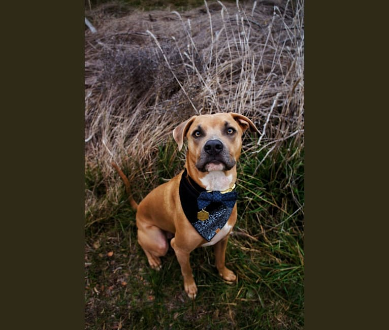 Photo of Lucian, an American Pit Bull Terrier and Rat Terrier mix in San Antonio, Texas, USA