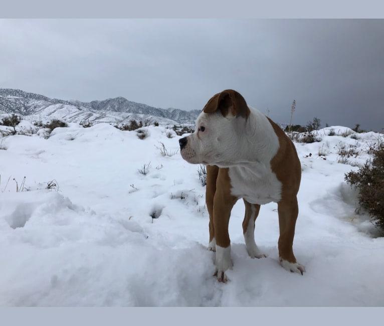 Photo of Daisy Duke, an American Bulldog  in Lake Elsinore, California, USA
