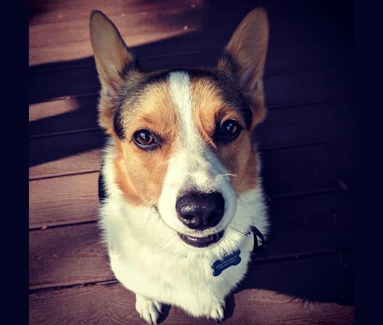 Photo of Foxy, a Pembroke Welsh Corgi and Australian Cattle Dog mix in Woodridge, Illinois, USA
