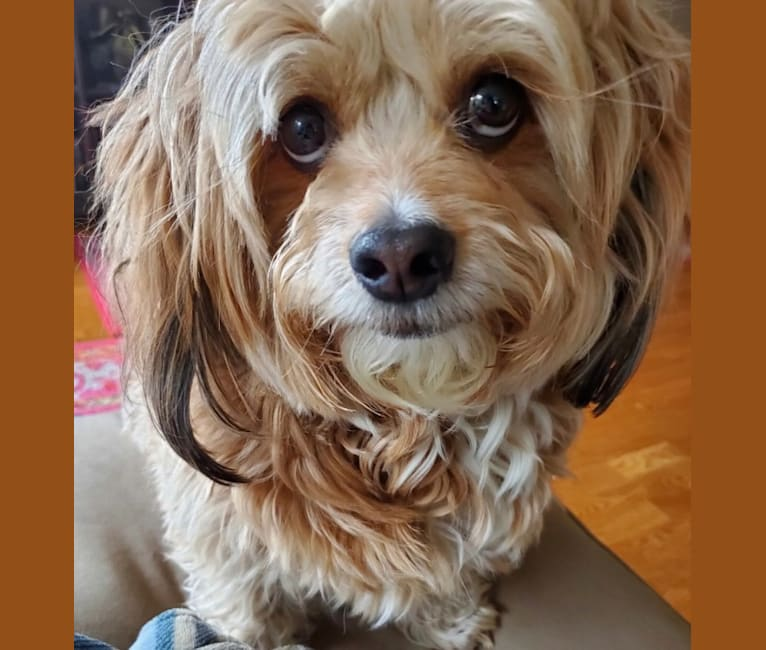 Photo of Brody, a Poodle (Small), Pekingese, Yorkshire Terrier, and Pomeranian mix in Chicago, Illinois, USA