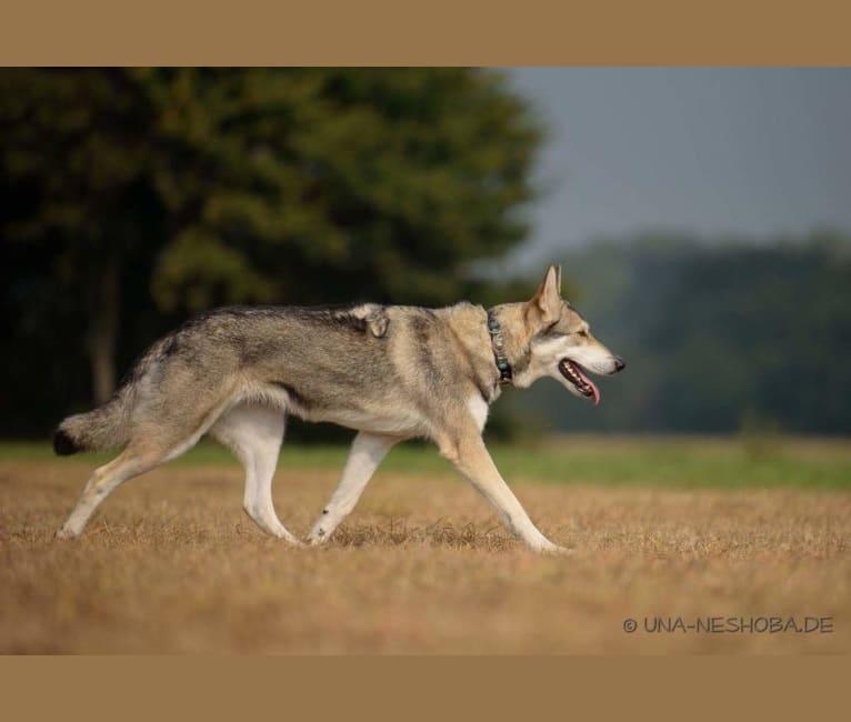 Photo of Enya Eylish Una Neshoba, a Saarloos Wolfdog  in Deggenhausertal, Deutschland