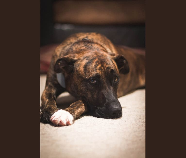 Photo of Mitten, an American Pit Bull Terrier and German Shepherd Dog mix