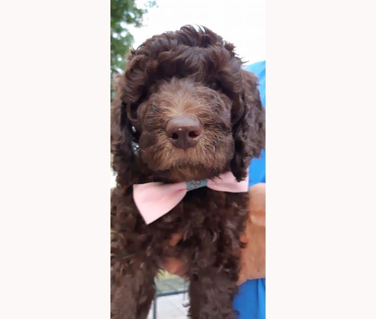 Photo of JLo, a Poodle (Standard)  in Niagara Falls, Ontario, Canada