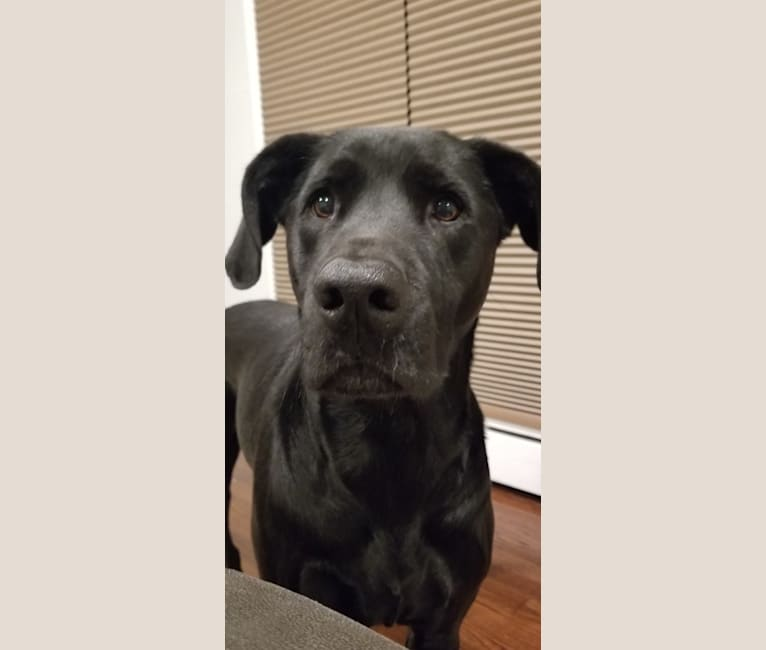 Photo of Jet, an American Pit Bull Terrier, Golden Retriever, Labrador Retriever, Rat Terrier, and Mixed mix in Pittsburgh, Pennsylvania, USA