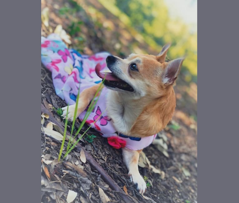 Photo of Summer, a Chihuahua, Poodle (Small), and Mixed mix in Texas, USA