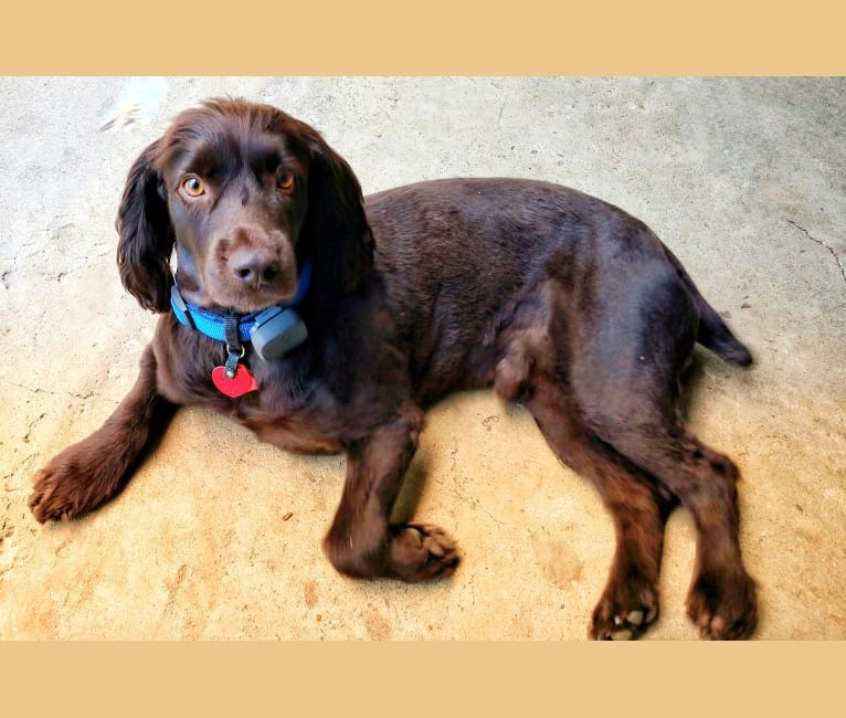 Photo of Duncan, a Boykin Spaniel  in Pembroke, GA, USA