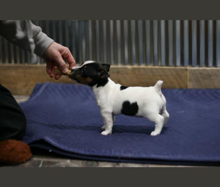 Photo of Daisy, a Teddy Roosevelt Terrier  in Newark, Illinois, USA
