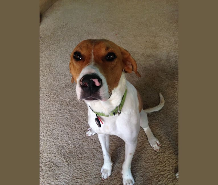 Photo of Crash, an American Pit Bull Terrier and Treeing Walker Coonhound mix in Arkansas, USA