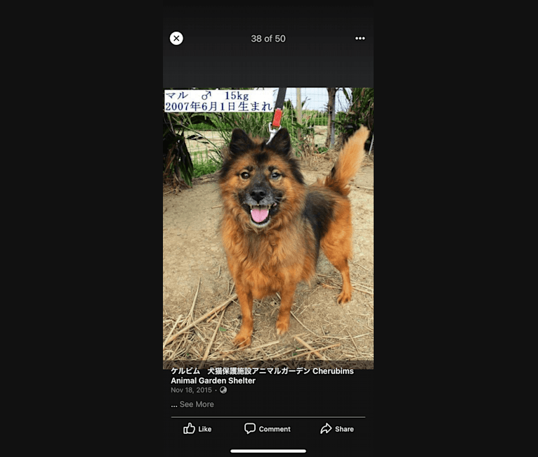 Photo of Maru, a Japanese and Korean Village Dog  in Okinawa, Japan