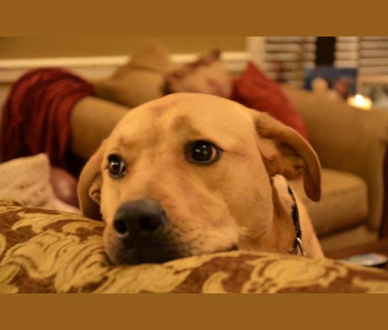 Photo of Savannah, a Bullmastiff, Labrador Retriever, Brittany, and Chow Chow mix in Smyrna, Georgia, USA