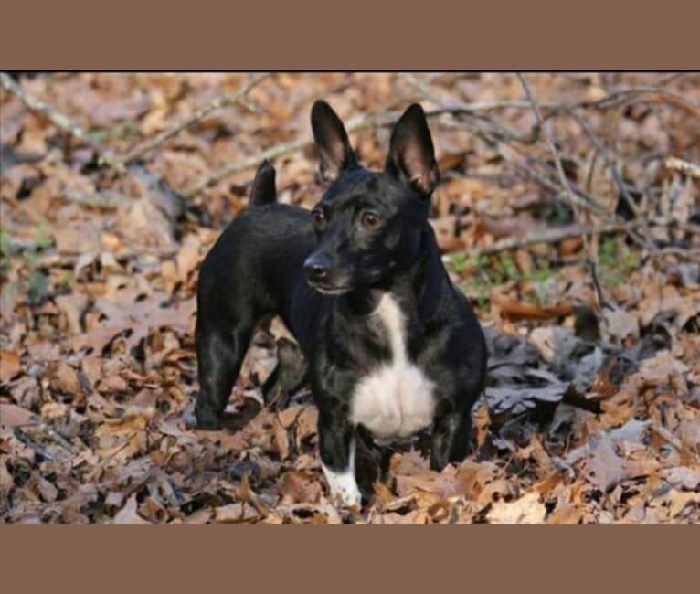 Photo of Winds, a Teddy Roosevelt Terrier  in Atlanta, GA, USA