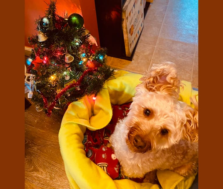 Photo of Chip, a Silky Terrier  in Tennessee, USA